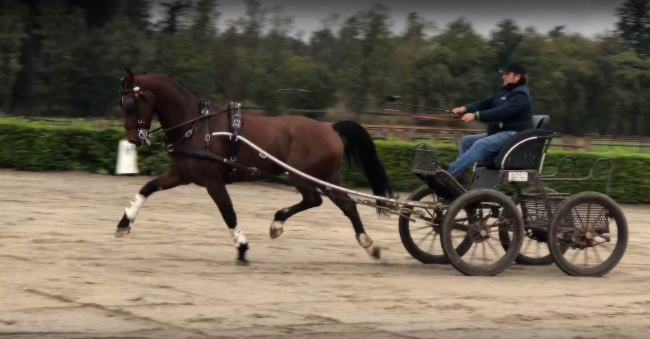 Driving Horses for sale - Riant Equestrian Centre